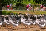 Tour de France 2017 - 104th Edition - 10th stage Perigueux - Bergerac 178 km - 11/07/2017 - Scenery - Goose - Oche - photo TDW/BettiniPhoto©2017